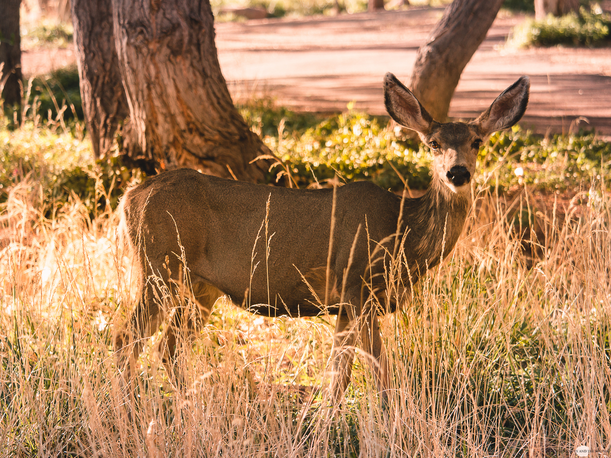 Zion National Park Utah USA Roadtrip Deer Reh