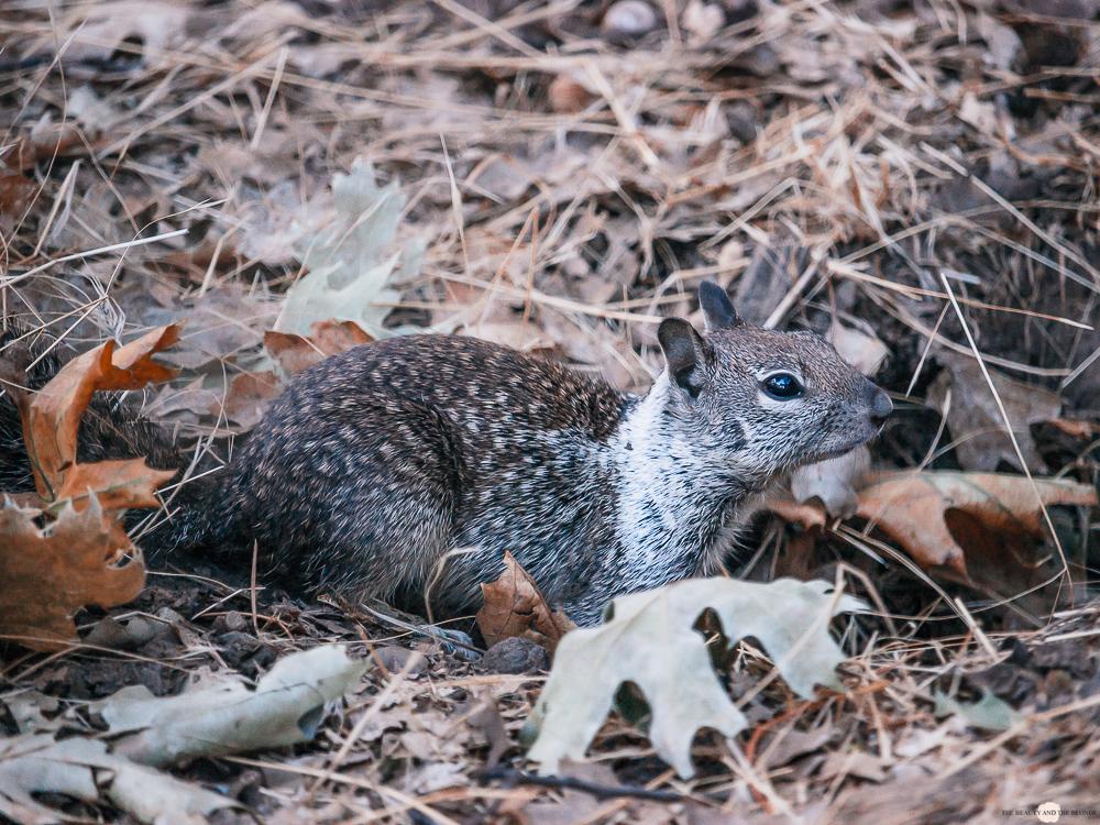 Yosemite National Park Valley Loop Trail Squirrel Eichhörnchen