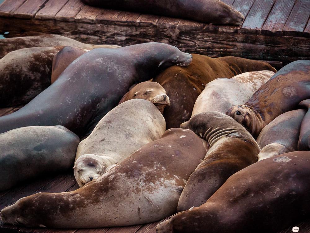 San Francisco Pier 39 Seelöwen