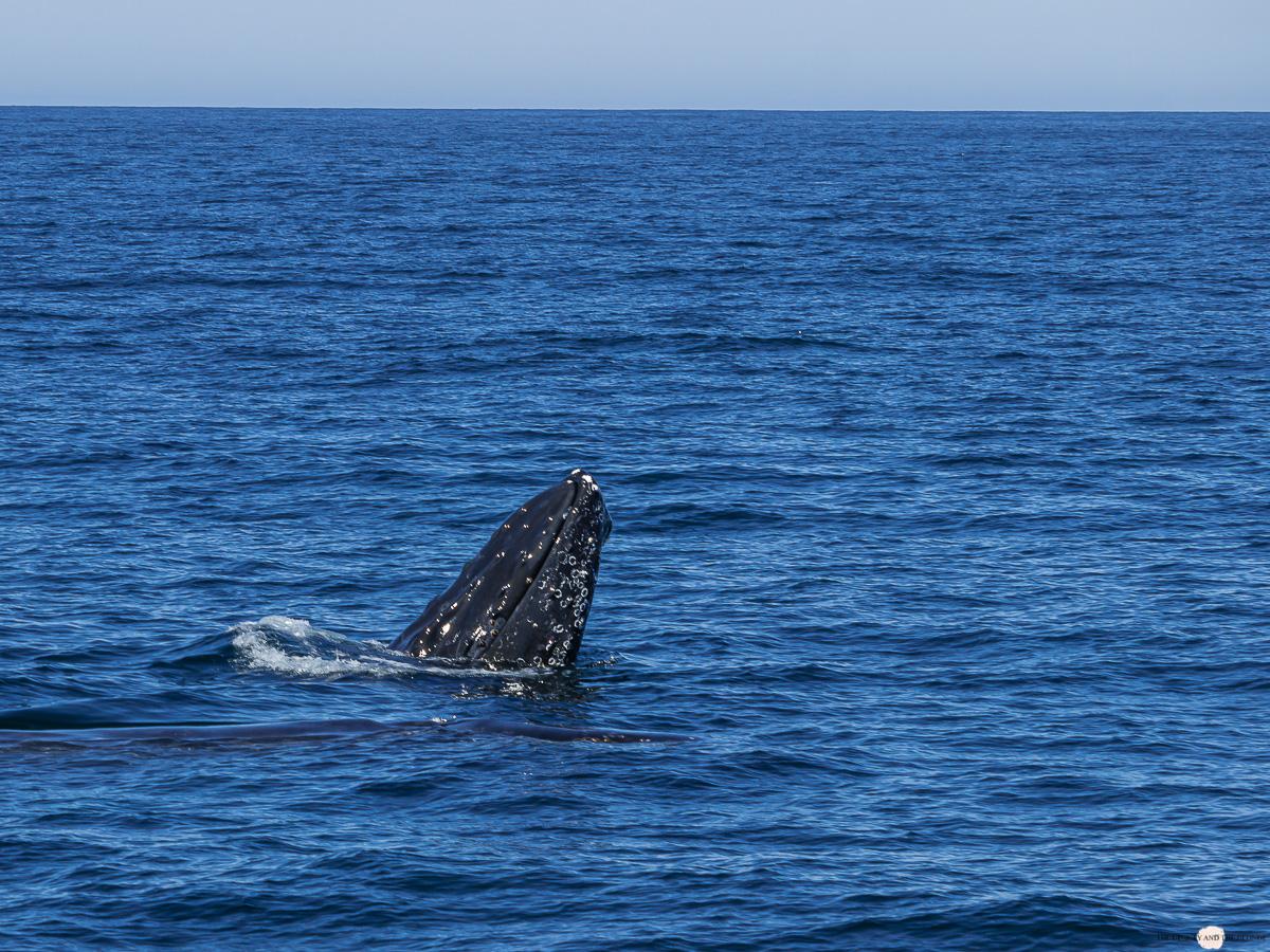 Kopf Buckelwal Humpback Whale Watching Monterey Bay