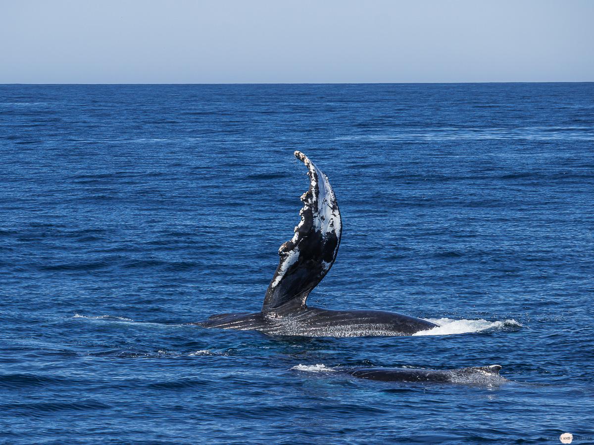 Flosse Buckelwal Humpback Whale Watching Monterey Bay