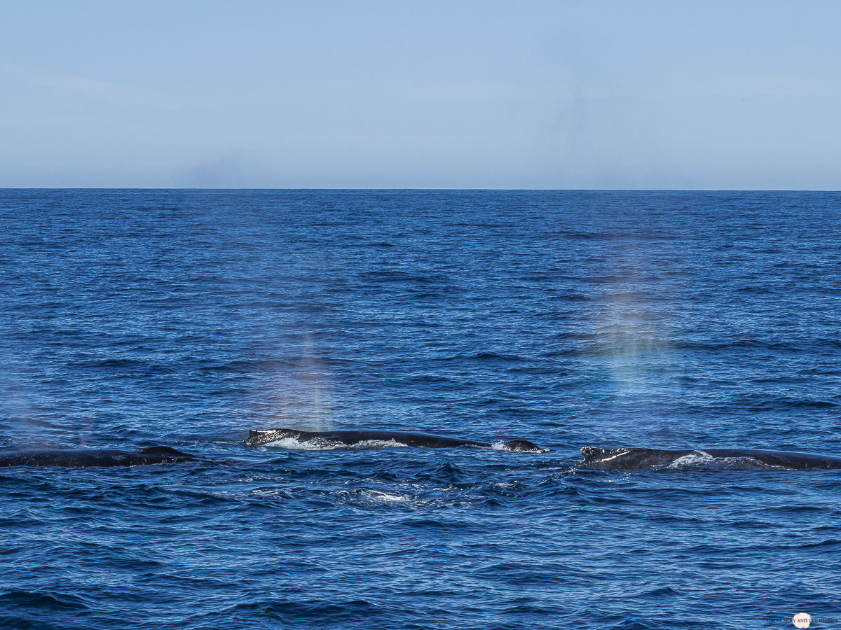 Buckelwal Humpback Whale Watching Monterey Bay