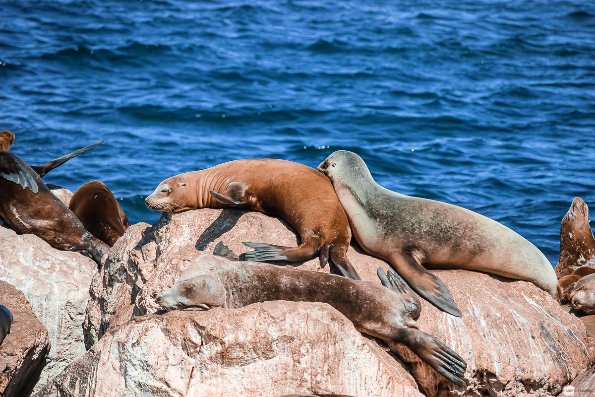 Seehund Robbe Seal Monterey Bay Kalifornien