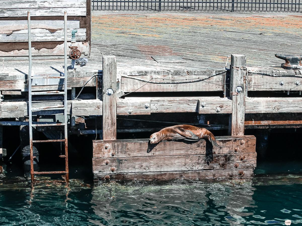 Robbe Seehund Monterey Bay Whale Watch